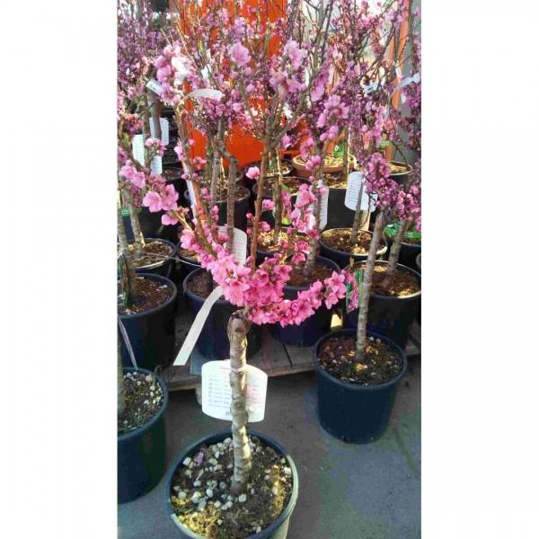 Prunus persica nano C12 Fussstamm