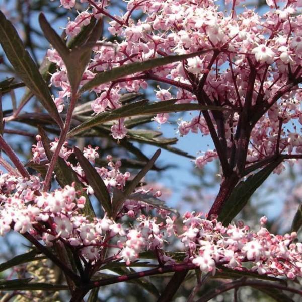 Sambucus nigra 'Haschberg' C 3 40- 60