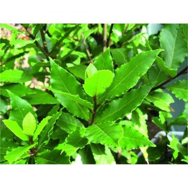 Laurus nobilis Busch