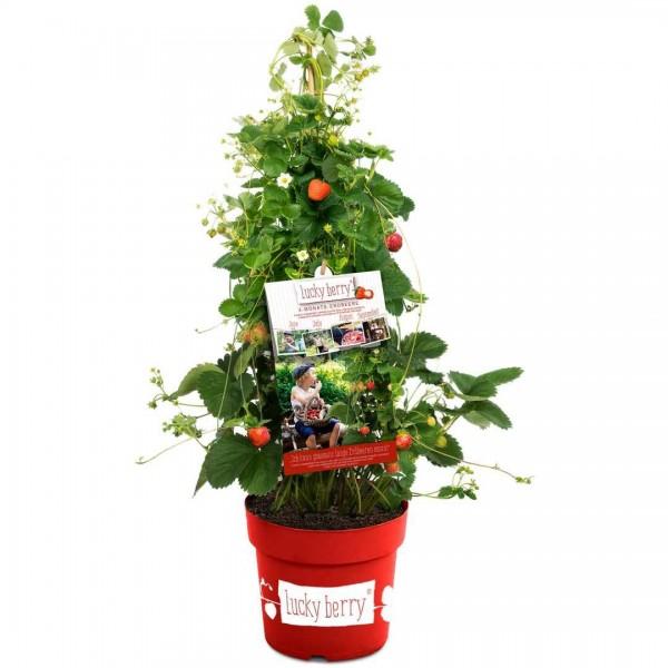 Fragaria 'Luckyberry' CAC C 4,6