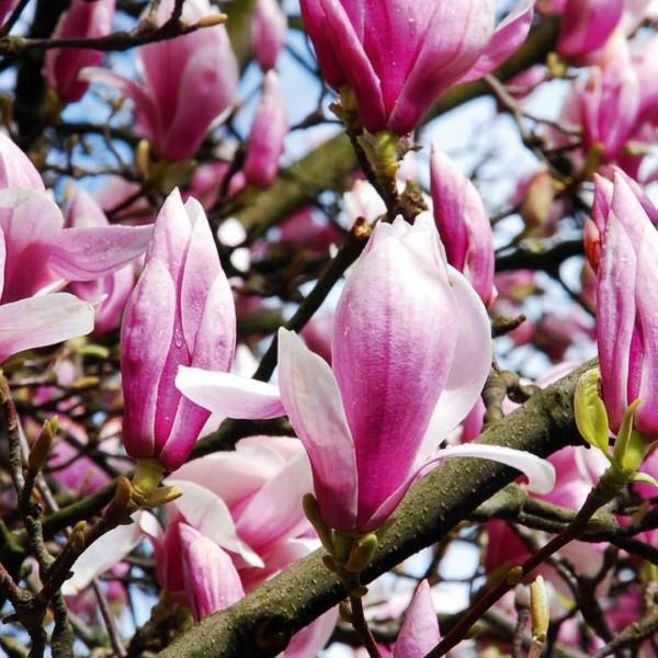 Magnolia loeb. Leonard m C9 Busch